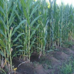 Compost aplicado como abono de fondo en cultivo de maíz (2 t/ha) / Compost applied as base fertilizer, at 2 t/ha dose, in a corn trial