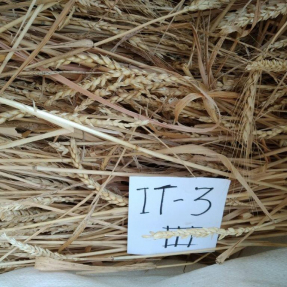 Cosecha de cereales de invierno: Trigo / Winter cereal harvest: Wheat - Jun 19