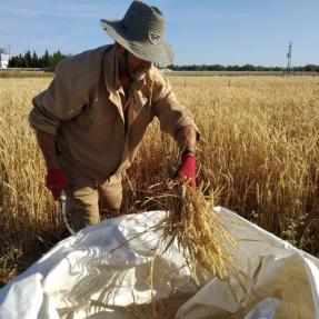 Cosecha de cereales de invierno / Winter cereal harvest - Jun 19