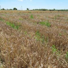 Cebada / Barley - Jun 20