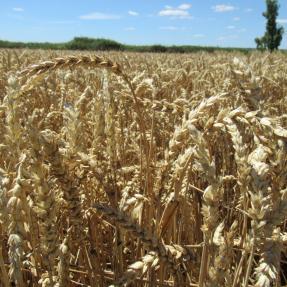 Trigo / Wheat - Jun 20